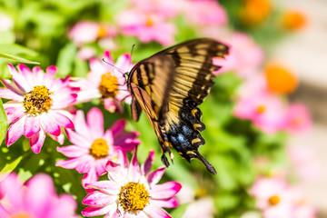 One eastern tiger swallowtail yellow butterfly on purple pink zinnia flowers in summer garden macro closeup with blue spots