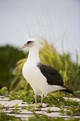 Laysan Albatross (Phoebastria immutabilis), Midway Atoll, Northwestern Hawaiian Islands