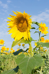 Sunflowers in a field with a honey bee visible in showy gold and  yellow sunflower in the foreground. Blue sky with thin clouds is seen above.