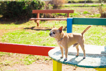 Chihuahua dog. Pet concept