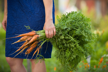 Closeup of woman's hands holding fresh bunch of organic carrots. Gardening and healthy food concepts.