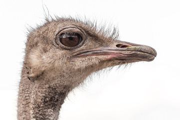 A close-up of an ostrich. The largest flightless bird.