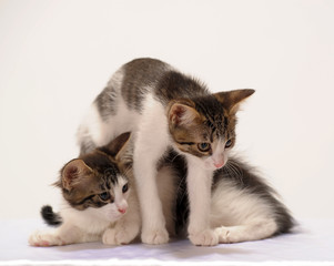 two white with brown kitten on white background