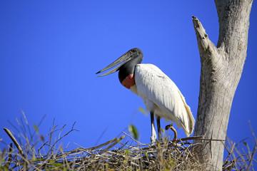 Jabiru (Jabiru mycteria) in its Nest. Pantanal, Brazil
