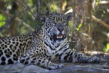 Jaguar Resting on the Ground. Pantanal, Brazil
