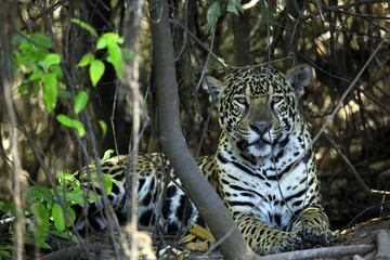 Jaguar Lying on the Ground, Looking into the Camera. Pantanal, Brazil