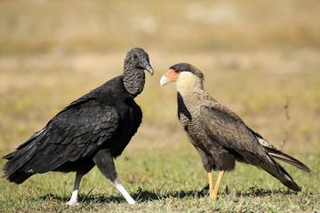 Black Vulture (Coragyps atratus) and Southern Caracara (Caracara plancus), Face to Face on the Ground. Rio Claro, Pantanal, Brazil