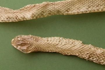 pelle di serpente Colubro dopo la muta completa