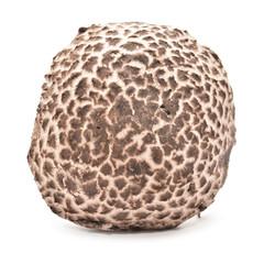 strobilomyces strobilaceus mushroom