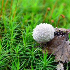 lycoperdon perlatum mushroom