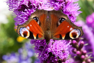 Background butterfly peacock eye on flower purple Liatris spicata