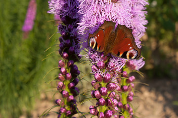 Background butterfly peacock eye on the blooming Liatris spicata