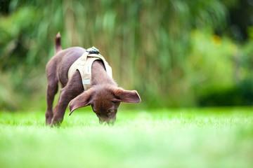 Welpe frisst im Gras
