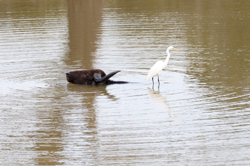 Buffalo and bird in a pond of Yala National Park in Sri Lanka