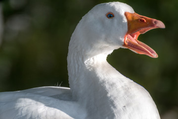 White goose close up