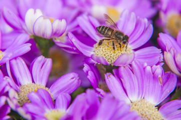Cineraria flower and bee closeup background and texture