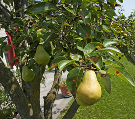 Ripe pear on a tree with pear rust leaves