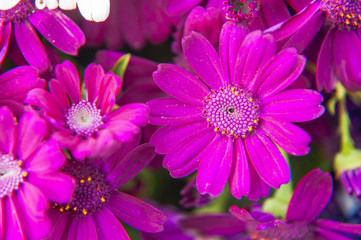 Beautiful blooming cineraria flower closeup in garden