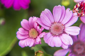 Beautiful blooming cineraria flower closeup in garden