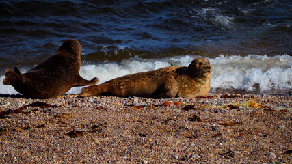 Sea lions rest in the morning sun on the beach of Portgordon, Moray, Scotland. In the distance you can see seagulls.