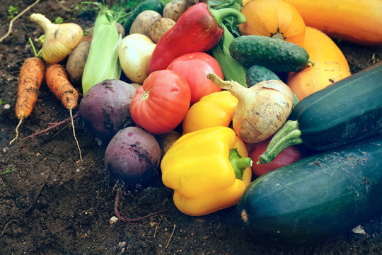 A set of fresh vegetables on the background of the soil close-up. Pile of Vegetables on ground - vegetable marrow, carrots, onions, peppers, cucumber, tomato, corn, beets, potatoes.