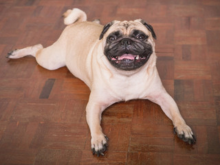 Adorable pug dog lying on floor at home, 3 year old, looking at the camera