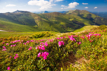 Mountain landscape valley with pink Rhododendron flowers