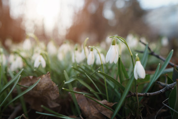 white snowdrops in spring morning closeup