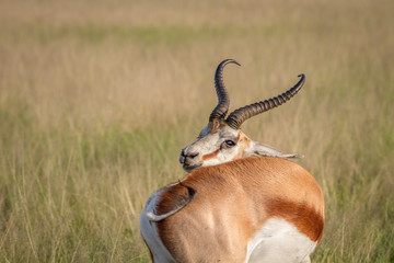 Springbok scratching itself in the grass.