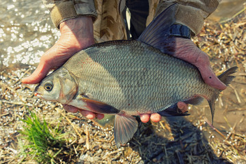 Big bream in fisherman's hand, toned