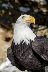 Bald Eagle on Sunny Winter Day