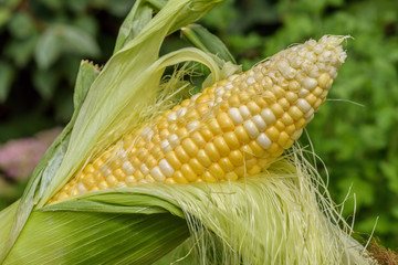 Closeup of ear of corn with husk and silk