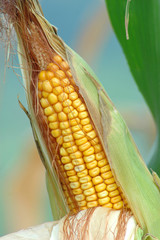 close up on the dry corn cob