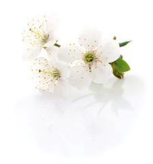 Cherry flowers isolated.