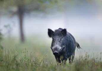Poster Chasse Wild boar in fog