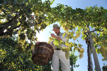 Wine Harvest Worker Cutting White Grapes from Vines with wicker basket full