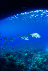 A school of horse eyed jacks slowly swim underneath a dive boat through the tropical warm waters of the Caribbean sea. In the Cayman Islands, sightings of many silver fish underwater are common.