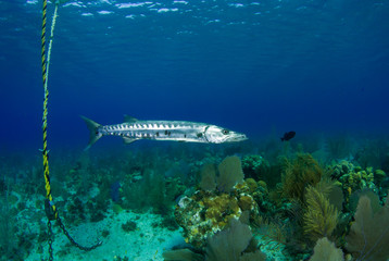 A menacing giant barracuda patrols the water at the bottom of a boat mooring underneath a dive boat. The long silver fish is a fierce underwater predator and uses large teeth to crush its prey