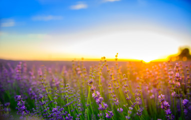 fields of the blossoming lavender on a sunset, bright saturated flowers in beams setting the sun