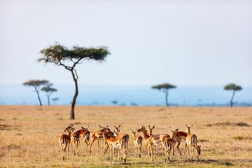 Impalas in Kenya