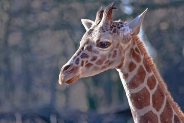 Giraffe head shot