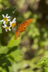 Orange butterfly on white flowers