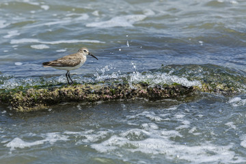 Sanderling bird feeding on a coquina rock