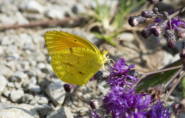Butterfly 2017-105 /  Yellow butterfly on purple flowers