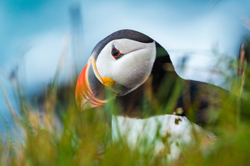 Puffins on the Latrabjarg cliffs, a promontory and the westernmost point in Iceland