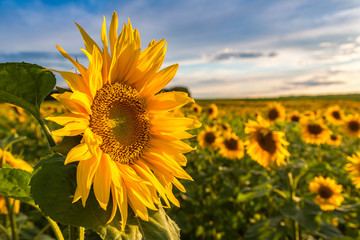 In de dag Zonnebloem Field of blooming sunflowers