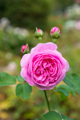 pink rose and buds in a garden