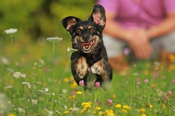 Kleiner schwarzer Hund rennt mit Mann im Hintergrund