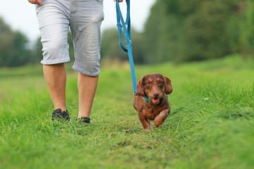 Gassi gehen - Mann geht mit braunem Dackel Mischling spazieren an der Leine