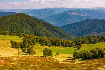 beech trees meadow on hillside in autumn